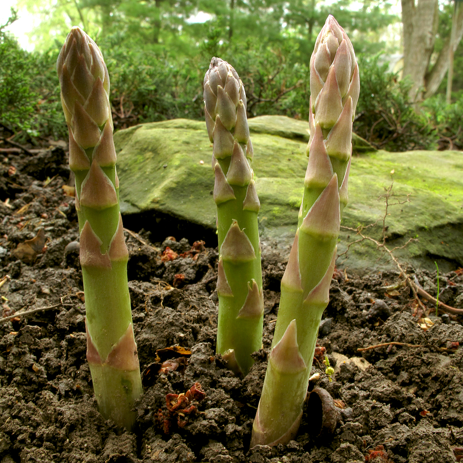 Delicious, Delectable Asparagus | Garden Talk